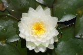 Mühlan - Eine weiße blühend Zwergseerose für den Teich, der Blickfänger in kleinen Gartenteichen, winterharte Pflanze