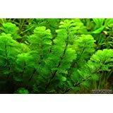 Cabomba Caroliniana - 4+ Stems | Freshwater Aquatic Plant