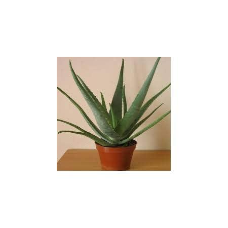 Planta Aloe Vera Natural Eco Maceta 13 cm PORTES GRATIS