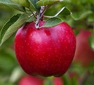 Red Delicious Apple (Flowering Group 4) - Live Fruit Tree Shipped 2 Feet Tall by DAS Farms (No California)