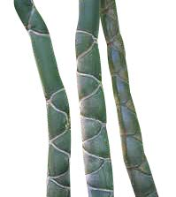 Riesen Bambus -Moso Bambus- 100 Samen *Winterhart, wächst über einem Meter im ersten Jahr *