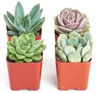 succulents live plants include pot combo pack of 4