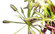 Fleischfressende Pflanze - Drosera capensis alba - der weisse Kap Sonnentau mind. 50 frische Samen