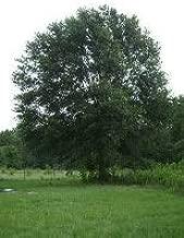 Laurel Oak Tree - 2 Year Old 4-5 Ft Tall - Bob Wells Nursery