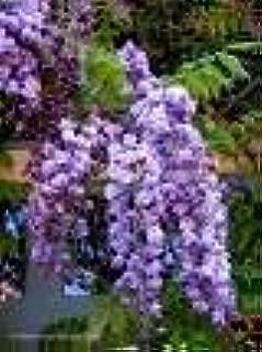 Violacea Plena Wisteria Vine 2 - Year Graft