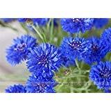 vente Big 100 graines / Pack, graines Lily, lsatis graines indigotica, herbes en pot de graines de fleurs