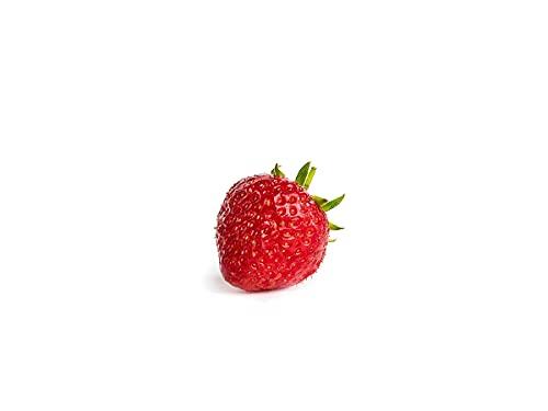 Erdbeerprofi - Erdbeere Senga Sengana - 10 Erdbeerpflanzen/Erdbeersetzlinge - gut durchwurzelt - Pflanzzeit: August - September; Ernte: Juni