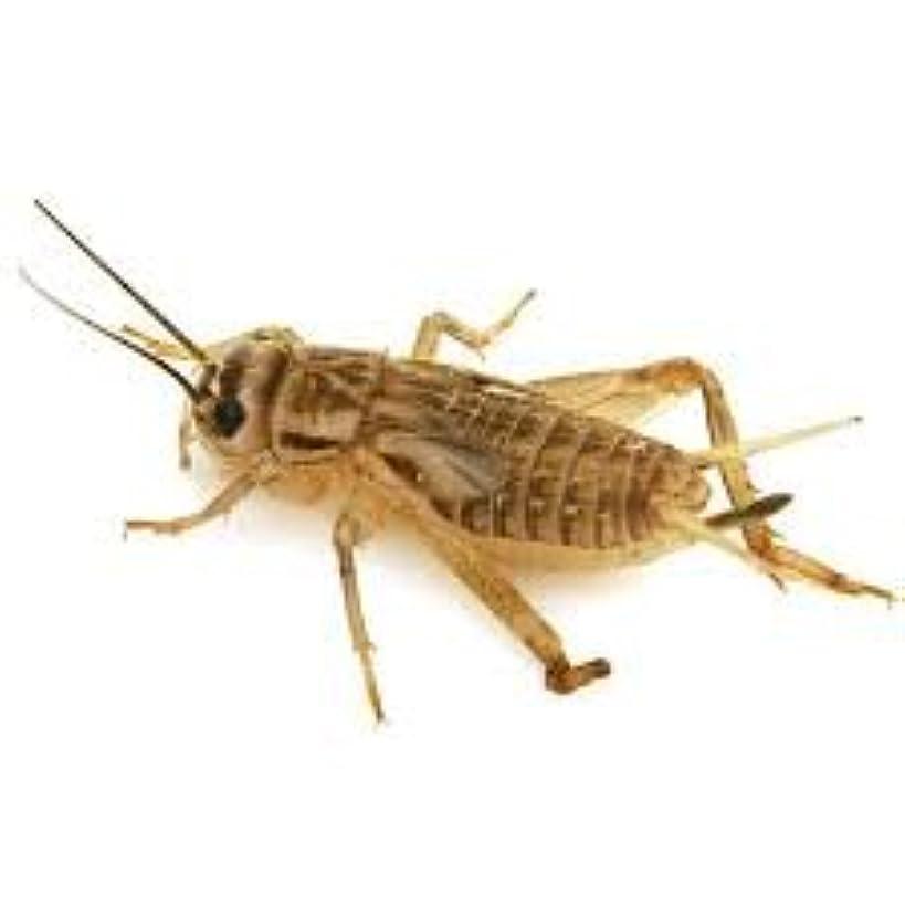1000 Live Crickets (Medium) 1/2