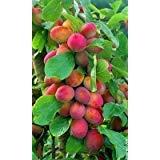 Big Juicy Victoria Plum Tree 4-5 ft Tall, 6L Pot, Ready to Fruit, Self...