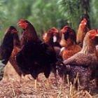 宮崎県産 日南鶏 モモ肉 2kg 銘柄鶏 業務用 国産 冷蔵品