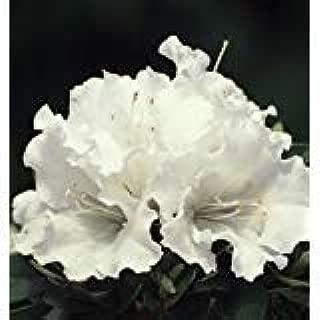 (2 Gallon) 'Gumpo White' Azalea, Huge, Bright White Single Blooms, Evergreen Shrub, Cold Hardy