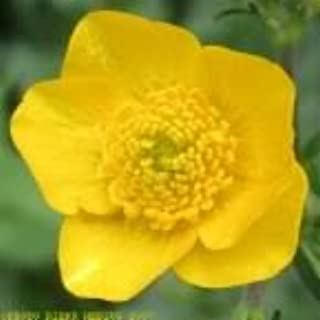 50 Bulbous BUTTERCUP / RANUNCULUS Yellow Flower SeedsComb S/H by Seedville