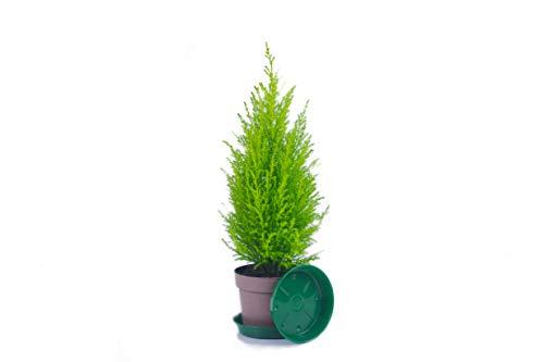 Zypressen 1 Stück in 40cm A1 Qualität MPS kontrolliert Unsere Pflanzen sind bereits für Sie vorgedüngt
