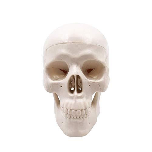 JAP768 1pc Mini Skull Model - Small Size Umano Medical Anatomical Adult Head Bone per l'istruzione