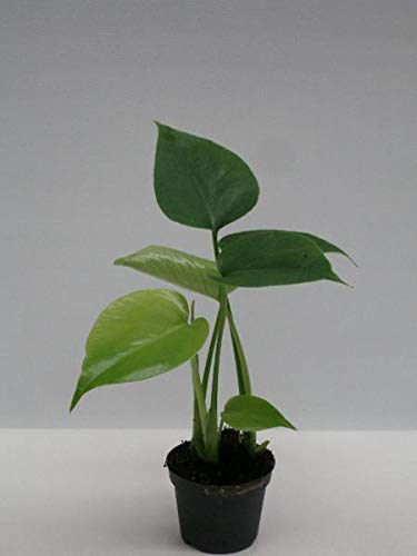 Monstera delicosa ca. 25 cm Köstliches Fensterblatt Zimmerpflanze