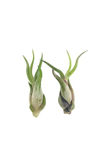 Tillandsia caput medusae | Luftpflanze | Airplant | Tillandsien | Pflegeleichte Zimmerpflanze | Dekorativ | Echte lebende Pflanze (2, Grün)