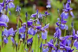 Aamish 20 Stück Iris sibirica...