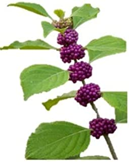 American Beautyberry - Berry - Purple - Fruit -Live Shrub - Plant - Trade Gallon Potted - 1 Plant by Growers Solution