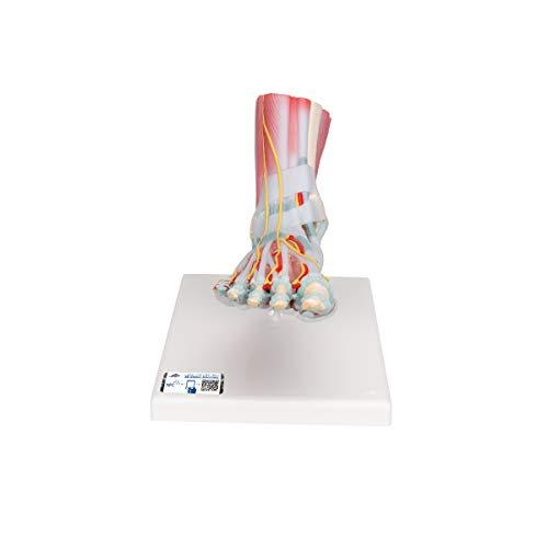 3B Scientific M34/1 Modelo de anatomía humana Modelo del Esqueleto del Pie con Ligamentos y Músculos + software de anatomía gratuito - 3B Smart Anatomy