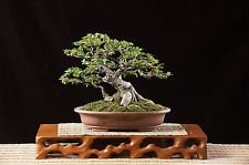 Semillas 50+ Bodhi Tree - Ficus religiosa - Sacred Fig Bonsai - BKSeeds