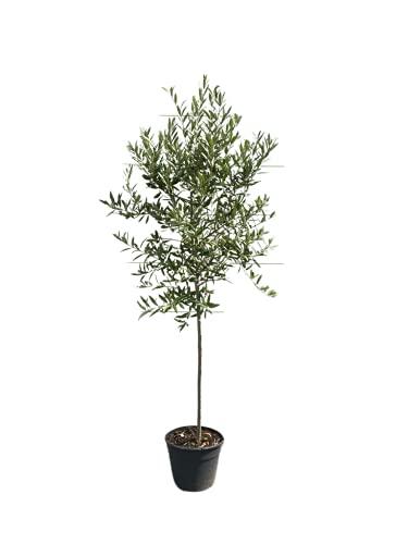 Hochstämmiger Olivenbaum 160cm hoch, winterhart -18, A+ ware, olea europea