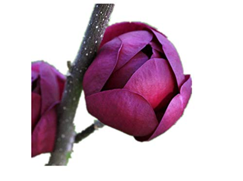 KINGDUO Egrow 10Pcs/Sac Magnolia Graines Deep Purple Noir Magnolia Yulan Tree Flower Tulip Tree Seeds