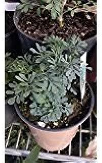 9EzTropical - Ruda Plant - Common Rue Herb of Grace - 2 Plants - 6
