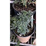 9EzTropical - Ruda Plant - Common Rue Herb of Grace - 2 Plants - 6' Tall Eeach - Ship in Two 3' Pot