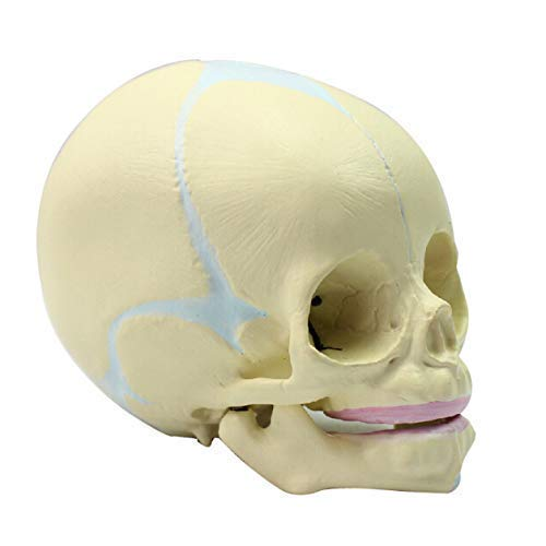 30-Week Fetus Life-Size Skull Anatomically Correct Skull Model of Fetal (Infant), 30-Week Pregnant Realistic Replica of Des for School