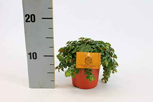 Zimmerpflanze von Botanicly – Fetthenne – Höhe: 15 cm – Sedum Makinoi