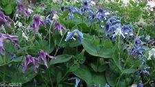 25 CLEMATIS Integrifolia mongolische Glocken-Mix (Seeds), rosa, weiß, lavendel, blau