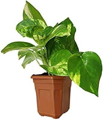 SelpLine | Money Plant, Scindapsus (Green) - Live Plant