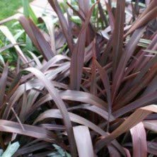 Phormium Tenax Purpureum | 50 CM | Livraison Gratuite