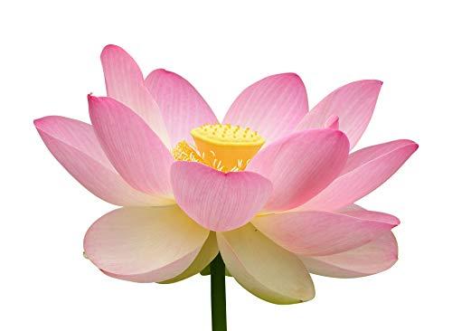 Indische Lotusblume (Nelumbo nucifera) 10 Samen ***Blütenfarbe-Pink***