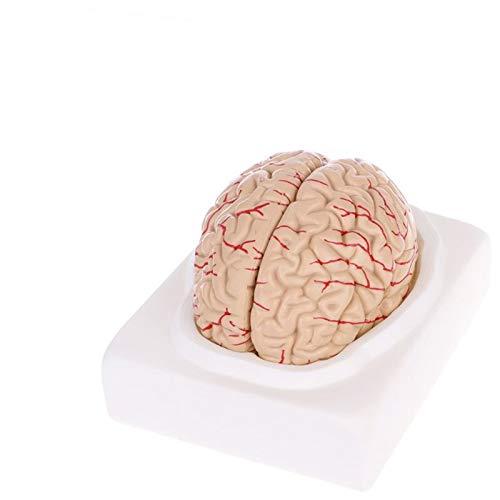 ShuYing 1 UNID Props Medical Modelo Modelo FRANQUEO Gratuito MOSTAMIENTO ANATÓMICO Modelo Humano Modelo Herramienta DE ENSEÑANZA MÉDICA