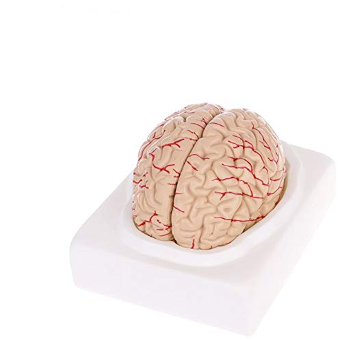 JAP768 1pc Medical Punt Puntes Model Gratuito BACCAZIONE GRATUITAMENTE SPEDIZIONE Anatomica Anatomica Brain Brain Model Anatomy Medical Teaching Tool