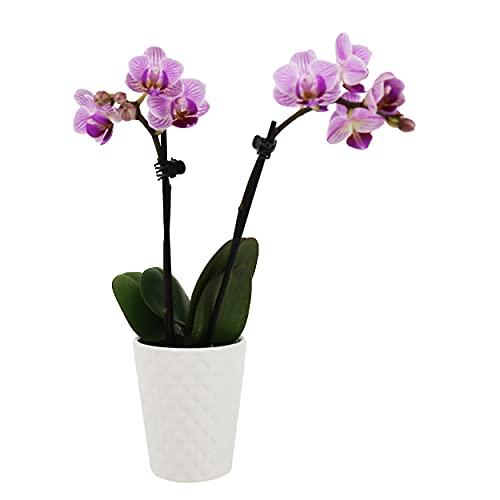 Plants & Blooms Shop PB102 Orchid, 2.5