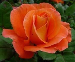 'Orange Dawn' -R-, Kletterrose in A-Qualität Wurzelware
