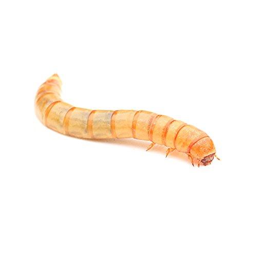 Lebende Mehlwürmer (1 kg)