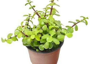 [Alternative dealer] Succulent Portulacaria 'Elephant 4