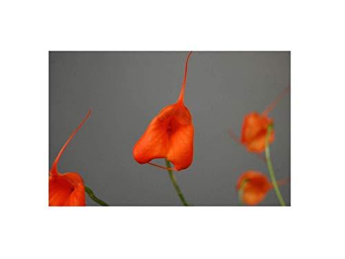 Stk - 1x Masdevallia Southern Sun Meristem Sorte orange Orchidee OW118 - Seeds Plants Shop Samenbank Pfullingen Patrik Ipsa