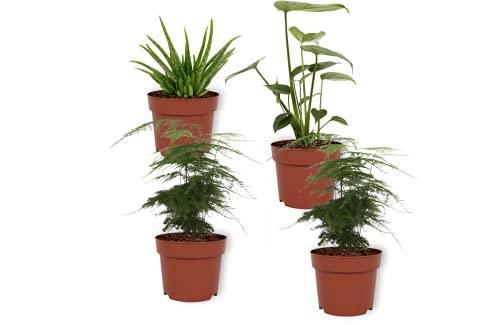 Set 4er Zimmerpflanzen - Asparagus...