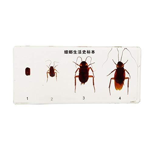 FHUILI Insect Specimen Bug Specimen - Schabe, Wachstum, Entwicklung - Real Roach Specimen Insekt Briefbeschwerer Präparatoren Specimen - für biologische Lehrinstrument