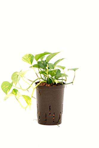 Efeutute, Epipremnum pinatum Aureum, Zimmerpflanze in Hydrokultur, 15/19er Kulturtopf, 20-30 cm