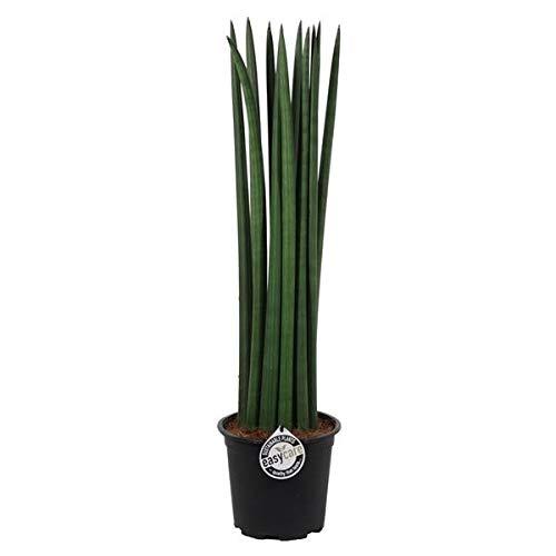 Blumen-Senf Sansevieria Cylindrica Straight 70 cm/Bogenhanf / Schwiegermutterzunge/bessere Raumluft