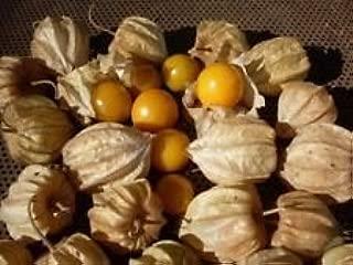 3 Live 3-6 inch Seedlings Husk Ground Cherry Cape Gooseberry Physalis Pruinosa