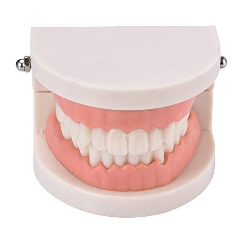 Hemistin Zahnmodell Lehrmodell Für Die Mundpflege Von Kindern Standard-Zahnmodell