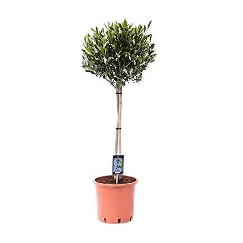 Olea Europeana | Olivo | Albero da frutto allaperto | Altezza 90-100 cm | Vaso Ø 22 cm