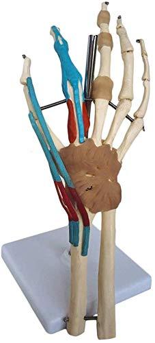 LXX Modelo anatómico de articulaciones humanas – Modelo anatómico de muñeca de Mano Que Incluye ligamento Vascular, función Muscular, Molde de anatomía – para Ayuda médica de formación educativa