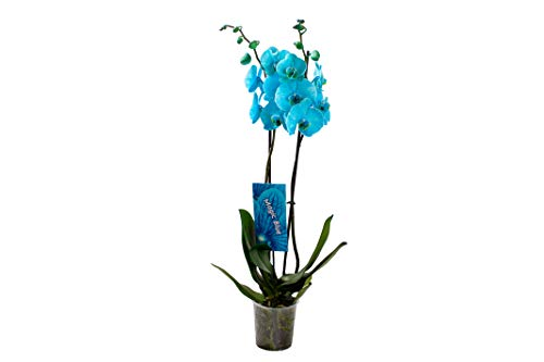 Orquídea de Botanicly – Orquídea mariposa – Altura: 75 cm, 2 brotes, flores azul claro – Phalaenopsis